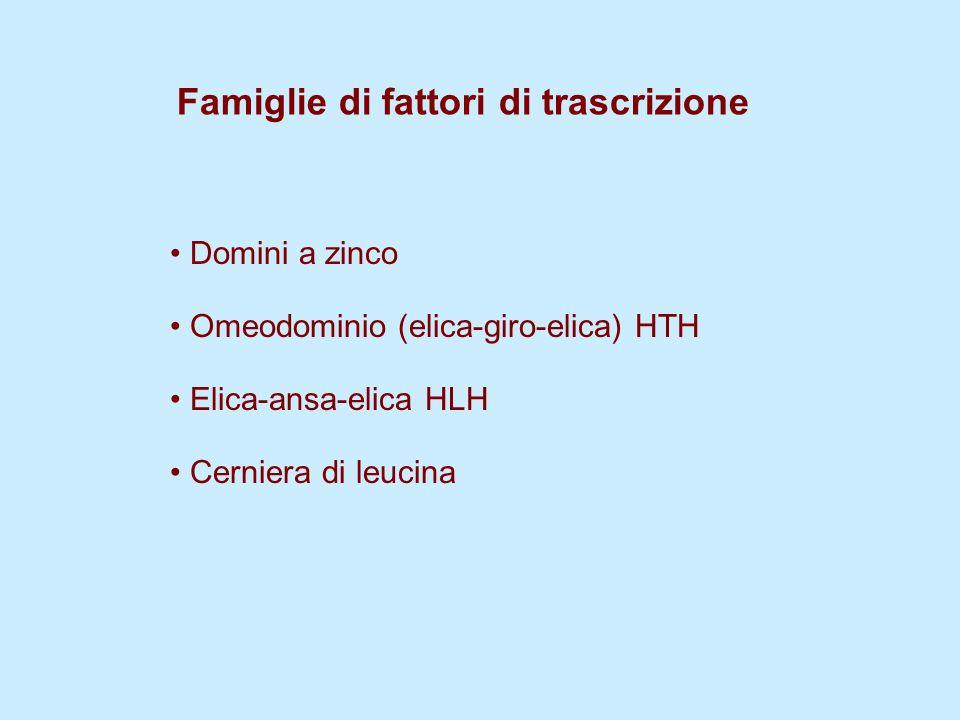 Famiglie di fattori di trascrizione Domini a zinco Omeodominio (elica-giro-elica) HTH Elica-ansa-elica HLH Cerniera di leucina