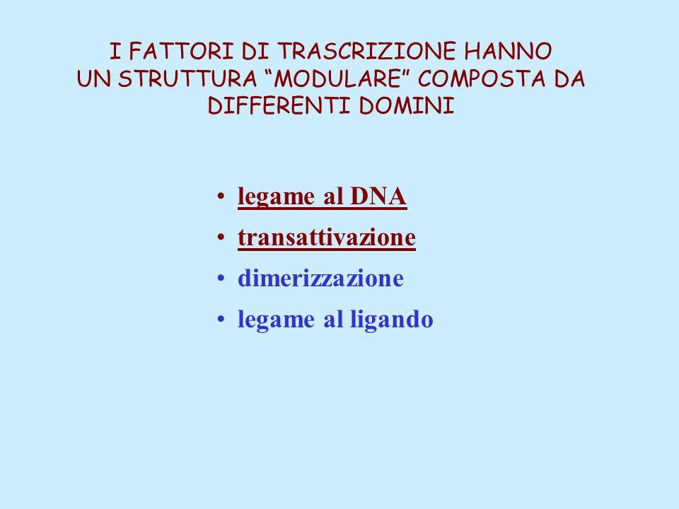 """I FATTORI DI TRASCRIZIONE HANNO UN STRUTTURA """"MODULARE"""" COMPOSTA DA DIFFERENTI DOMINI legame al DNA transattivazione dimerizzazione legame al ligando"""
