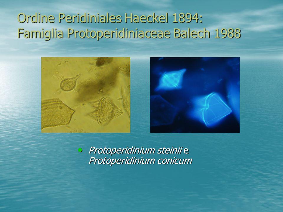 Ordine Peridiniales Haeckel 1894: Famiglia Protoperidiniaceae Balech 1988 Protoperidinium steinii e Protoperidinium conicum Protoperidinium steinii e Protoperidinium conicum