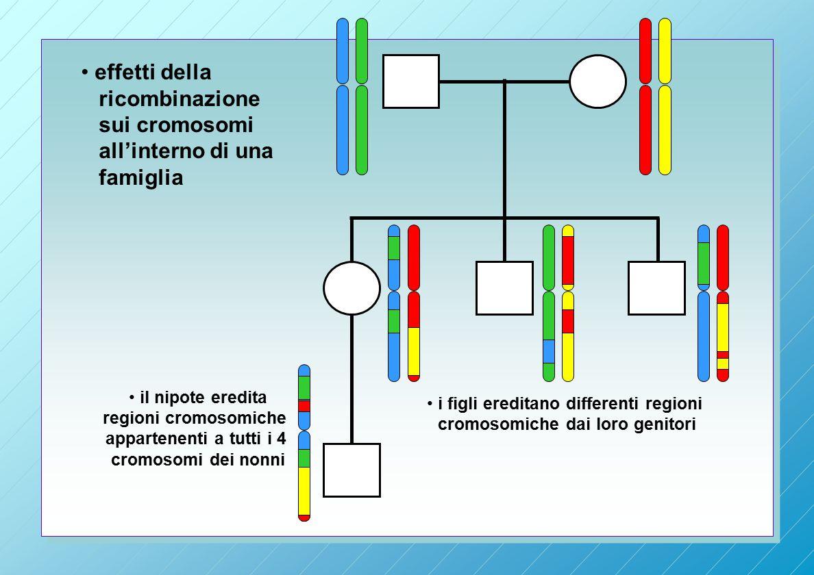 effetti della ricombinazione sui cromosomi all'interno di una famiglia i figli ereditano differenti regioni cromosomiche dai loro genitori il nipote eredita regioni cromosomiche appartenenti a tutti i 4 cromosomi dei nonni