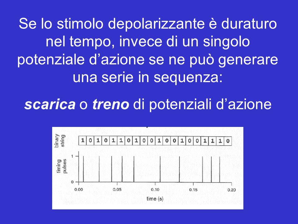 Anche il canale K A, come il canale K DR (delayed rectifier), è selettivo per il K +, ma ha le seguenti caratteristiche: - Attiva a potenziali più negativi di Kv (attivazione precoce) - Inattiva tanto più rapidamente quanto maggiore è la depolarizzazione -20 +40 K DR -20 +20 -20 +40 KAKA -20 +20 Correnti di K + in voltage-clamp Caratteristiche elettrofisiologiche dei canali K A