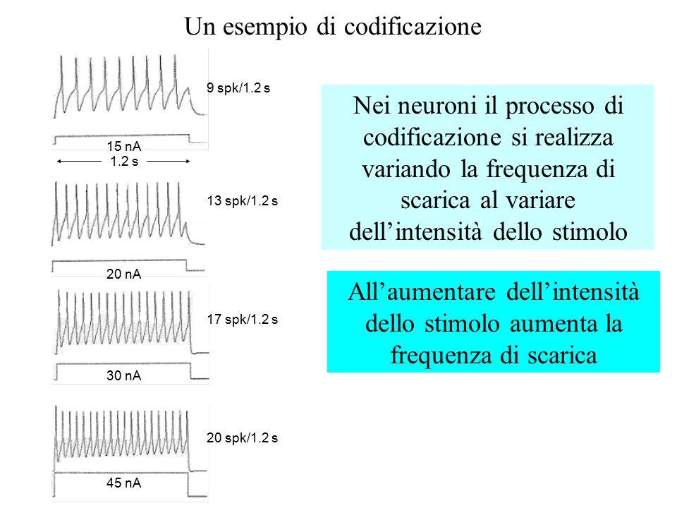 CODIFICAZIONE Come fa un neurone a discriminare tra stimoli di diversa intensità, dal momento che l'ampiezza del p.d'a. non varia al variare di uno st