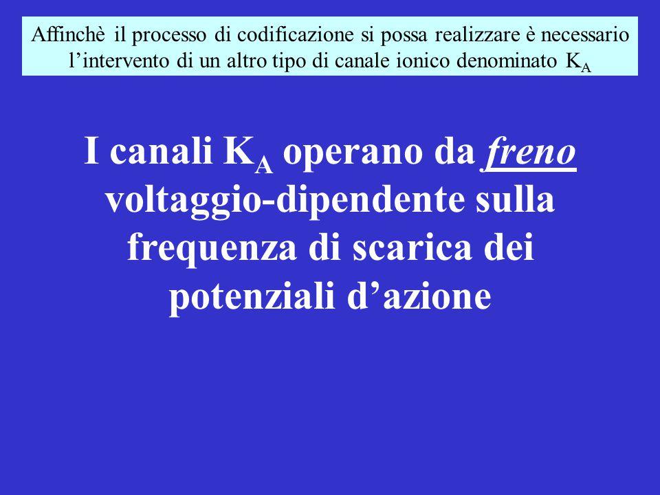20 nA 30 nA 45 nA 15 nA 1.2 s 13 spk/1.2 s 17 spk/1.2 s 20 spk/1.2 s 9 spk/1.2 s Nei neuroni il processo di codificazione si realizza variando la frequenza di scarica al variare dell'intensità dello stimolo All'aumentare dell'intensità dello stimolo aumenta la frequenza di scarica Un esempio di codificazione