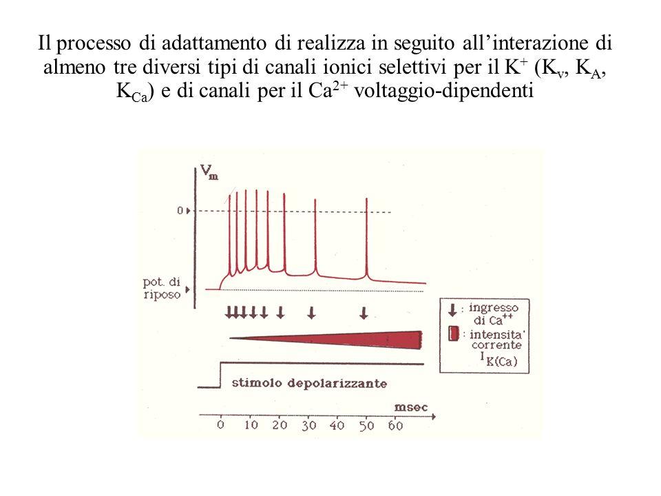 La scarica fasica contiene informazioni relative a variazioni di intensità dello stimolo Scarica tonica: la sua frequenza si mantiene costantemente pr