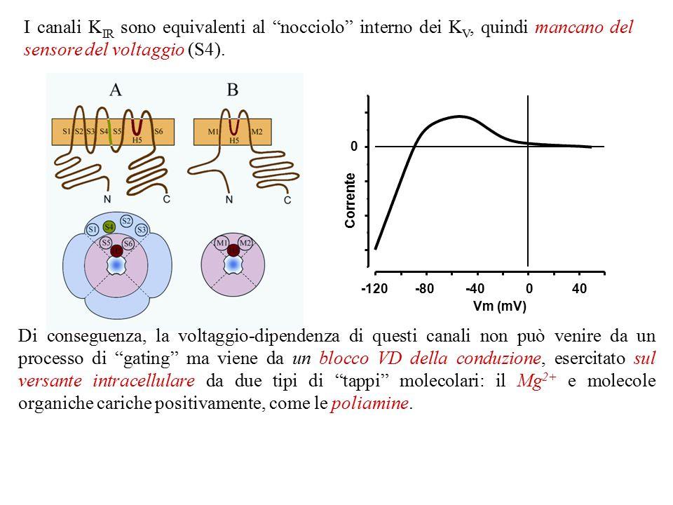 """Secondo gruppo: le 4 subunità hanno 2 STM, denominati M1 ed M2. Questi canali vengono anche denominati """"inward rectifier"""" (K IR ) (o """"anomalous rectif"""