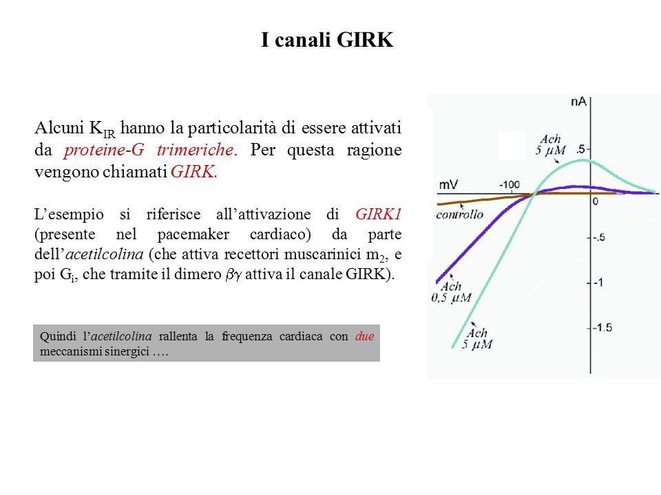 I K IR classici vengono chiamati IRK Sono presenti in moltissime cellule.