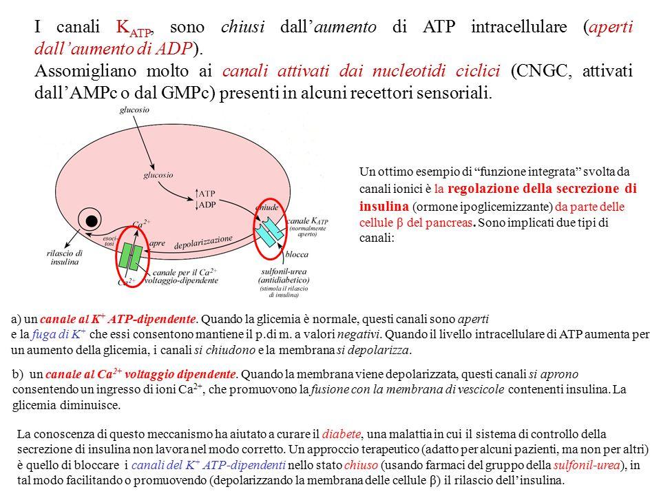Alcuni K IR hanno la particolarità di essere attivati da proteine-G trimeriche.