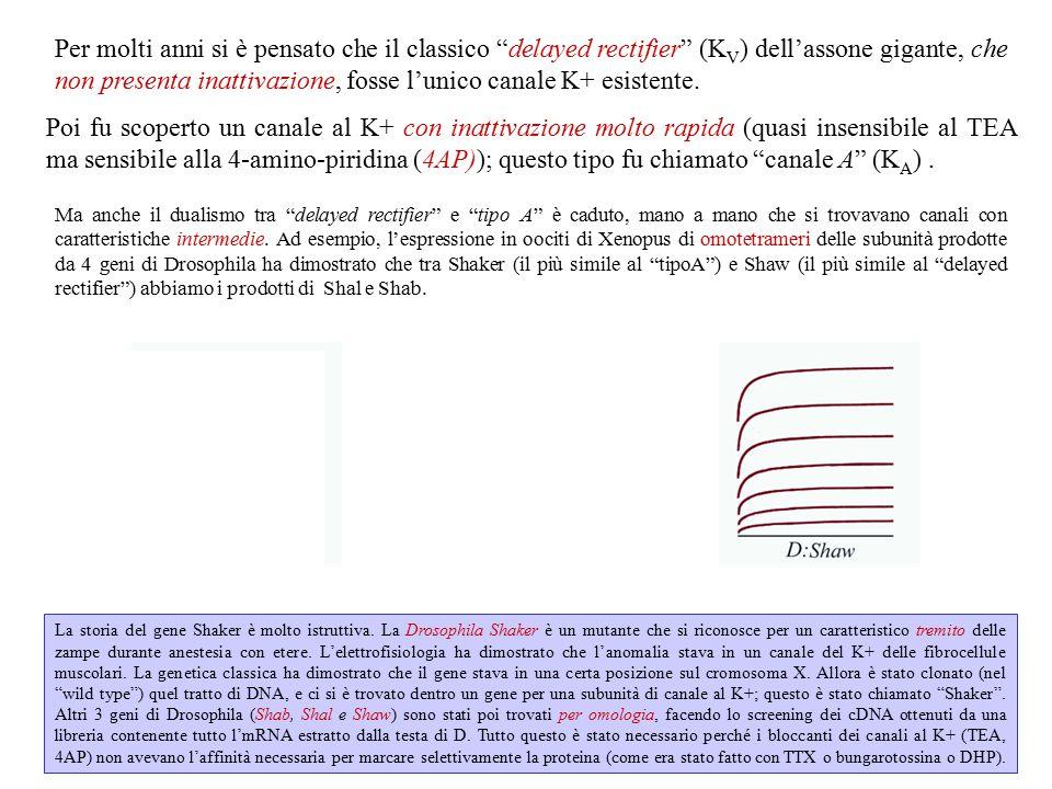 Questo gruppo comprende: a) la famiglia dei K V (K V 1-K V 9, ognuno con diverse varianti) → KV1.4 è quello che assomiglia di più al tipo-A (ha inattivazione molto rapida).