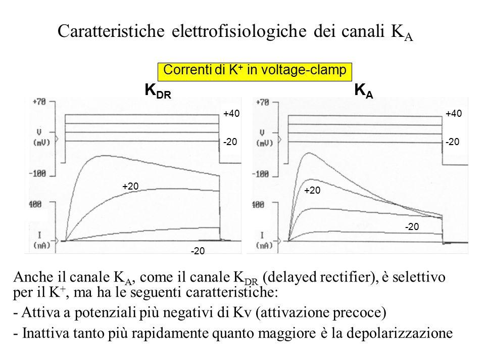 """In alcuni canali si è visto che dopo rimozione della inattivazione di tipo """"N"""", persiste una lenta riduzione della corrente al perdurare della depolar"""