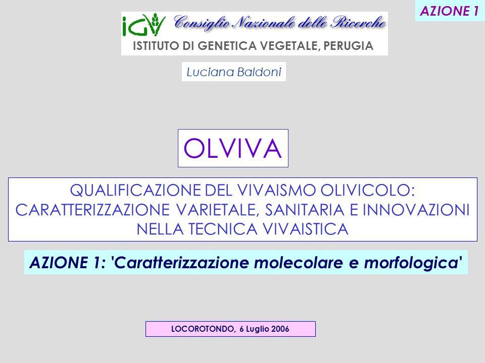 QUALIFICAZIONE DEL VIVAISMO OLIVICOLO: CARATTERIZZAZIONE VARIETALE, SANITARIA E INNOVAZIONI NELLA TECNICA VIVAISTICA LOCOROTONDO, 6 Luglio 2006 Luciana Baldoni ISTITUTO DI GENETICA VEGETALE, PERUGIA OLVIVA AZIONE 1: Caratterizzazione molecolare e morfologica AZIONE 1