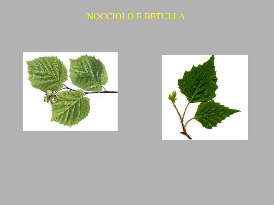 NOCCIOLO E BETULLA