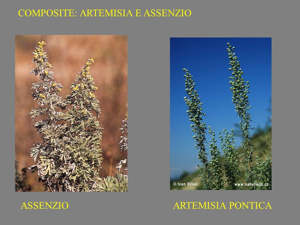 ARTEMISIA PONTICAASSENZIO COMPOSITE: ARTEMISIA E ASSENZIO