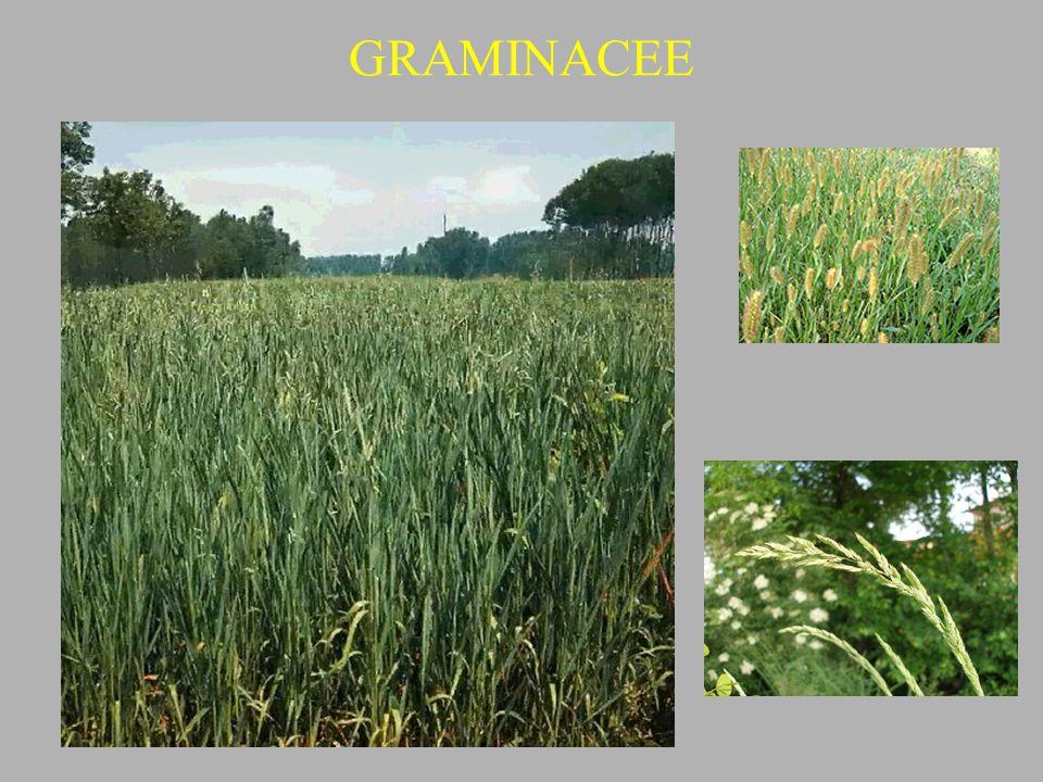 GRAMINACEE