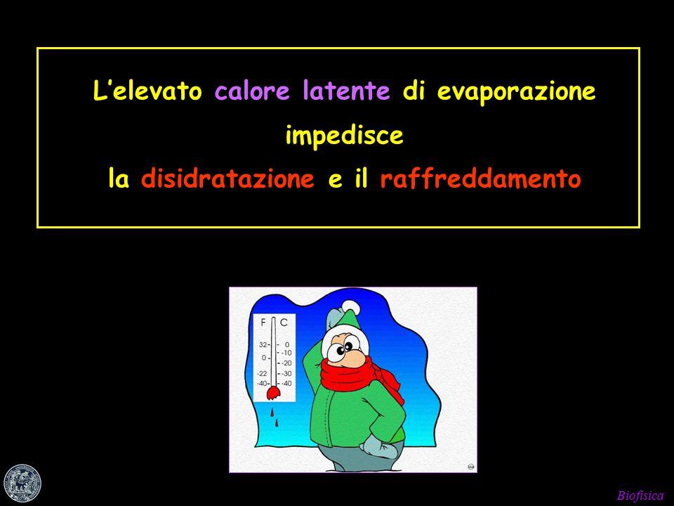 Biofisica L'elevato calore latente di evaporazione impedisce la disidratazione e il raffreddamento