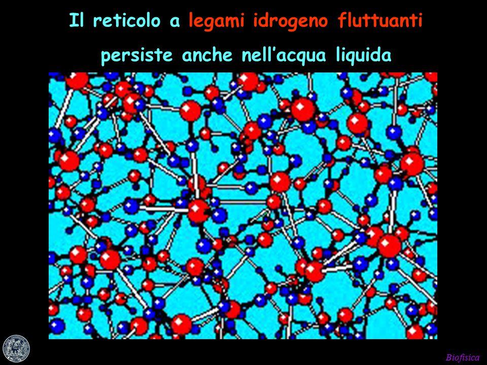 Biofisica Il reticolo a legami idrogeno fluttuanti persiste anche nell'acqua liquida