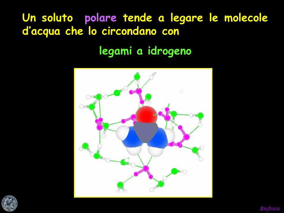 Biofisica Un soluto polare tende a legare le molecole d'acqua che lo circondano con legami a idrogeno