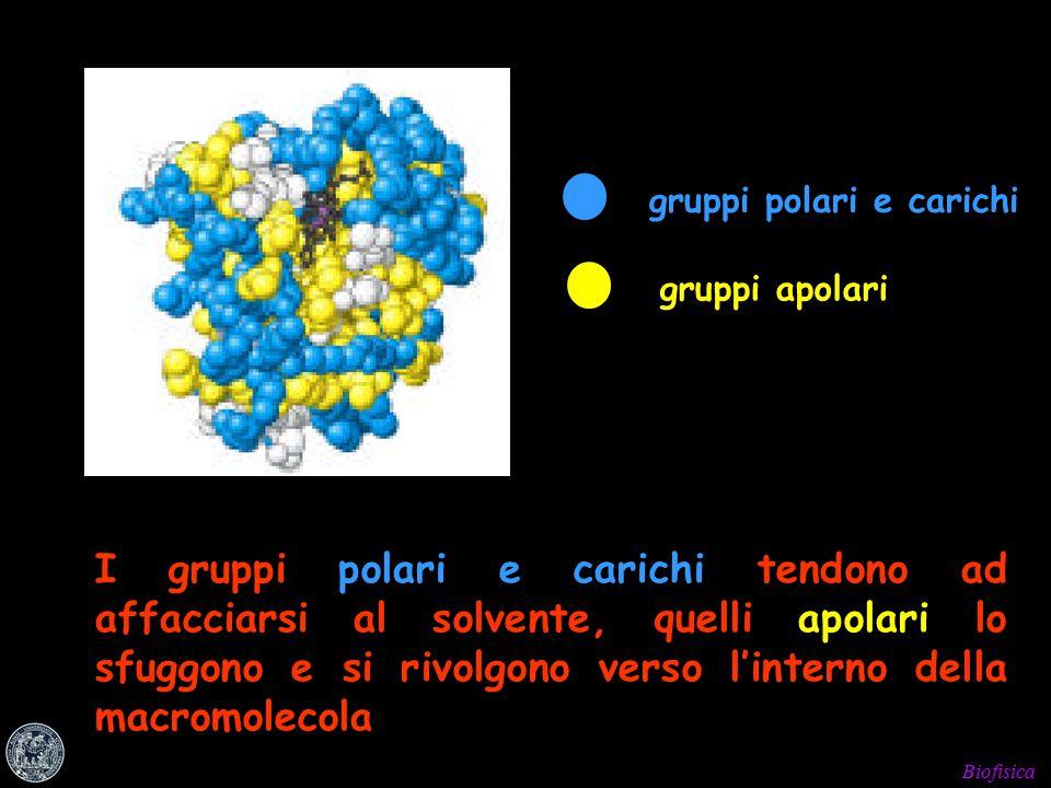 gruppi polari e carichi gruppi apolari I gruppi polari e carichi tendono ad affacciarsi al solvente, quelli apolari lo sfuggono e si rivolgono verso l'interno della macromolecola