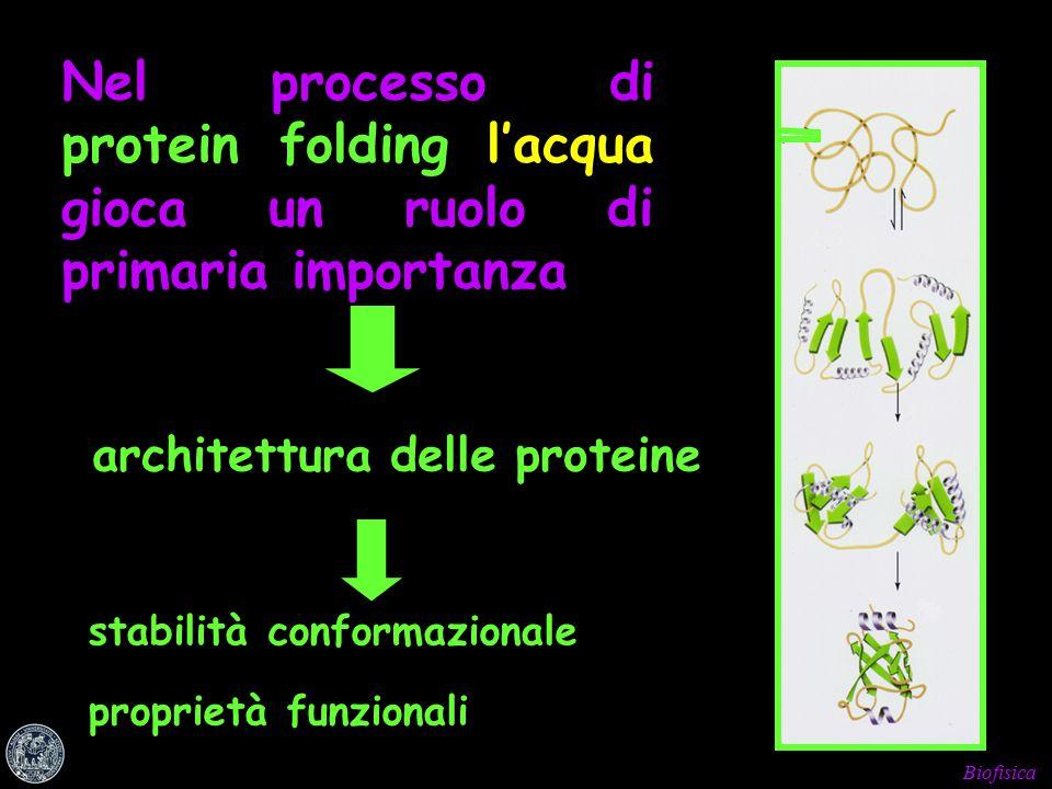 Biofisica Nel processo di protein folding l'acqua gioca un ruolo di primaria importanza architettura delle proteine stabilità conformazionale proprietà funzionali