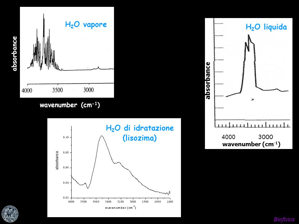 Biofisica absorbance wavenumber (cm -1 ) H 2 O vapore 4000 3000 wavenumber (cm -1 ) absorbance H 2 O liquida H 2 O di idratazione (lisozima)