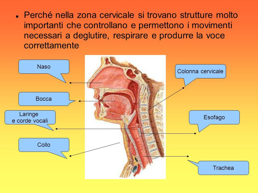 Perché nella zona cervicale si trovano strutture molto importanti che controllano e permettono i movimenti necessari a deglutire, respirare e produrre