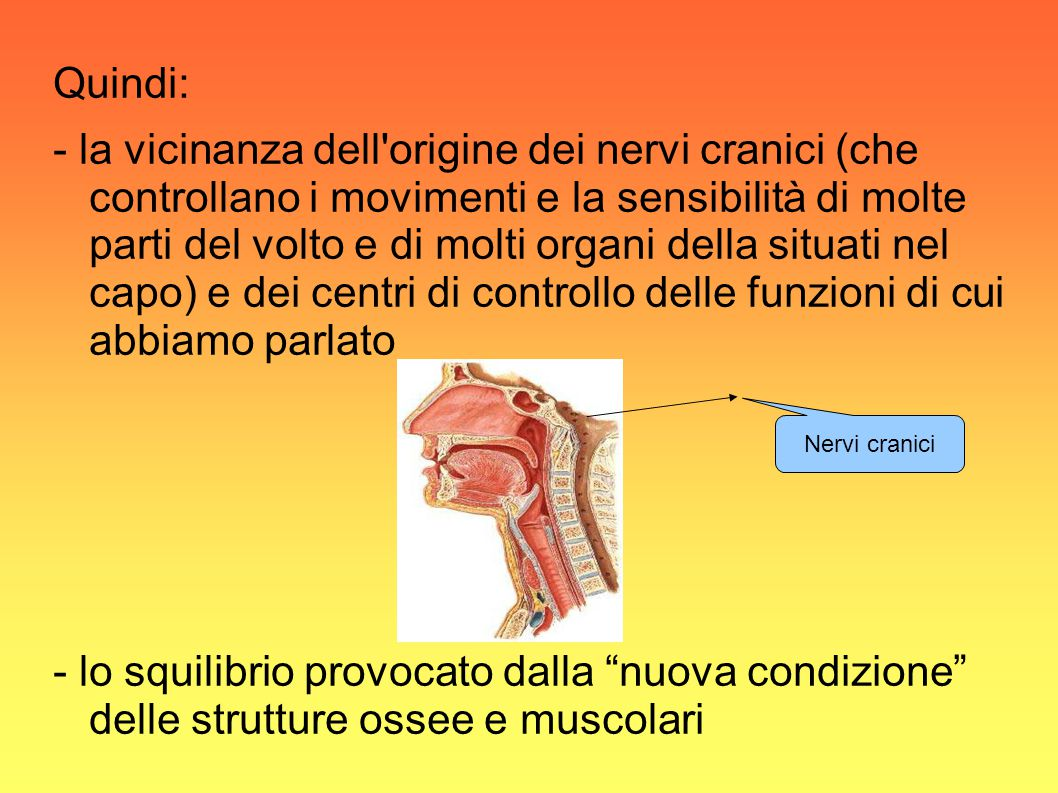 Quindi: - la vicinanza dell origine dei nervi cranici (che controllano i movimenti e la sensibilità di molte parti del volto e di molti organi della situati nel capo) e dei centri di controllo delle funzioni di cui abbiamo parlato - lo squilibrio provocato dalla nuova condizione delle strutture ossee e muscolari Nervi cranici