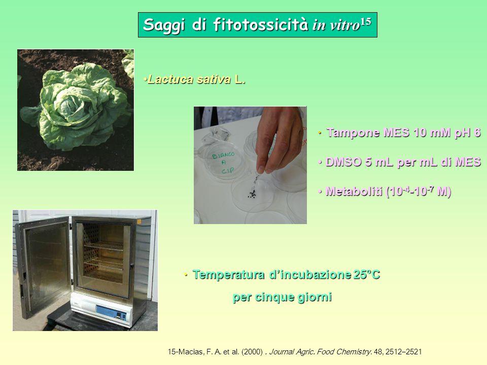 Saggi di fitotossicità in vitro 15 Temperatura d'incubazione 25°C per cinque giorni Temperatura d'incubazione 25°C per cinque giorni Tampone MES 10 mM pH 6 Tampone MES 10 mM pH 6 DMSO 5 mL per mL di MES DMSO 5 mL per mL di MES Metaboliti (10 -4 -10 -7 M) Metaboliti (10 -4 -10 -7 M) Lactuca sativa L.Lactuca sativa L.