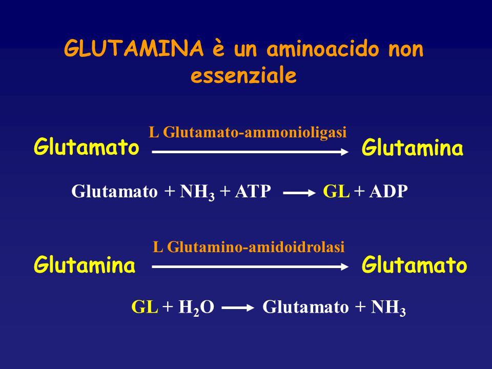 GLUTAMINA è un aminoacido non essenziale GlutamatoGlutamina L Glutamino-amidoidrolasi Glutamato Glutamina L Glutamato-ammonioligasi Glutamato + NH 3 +
