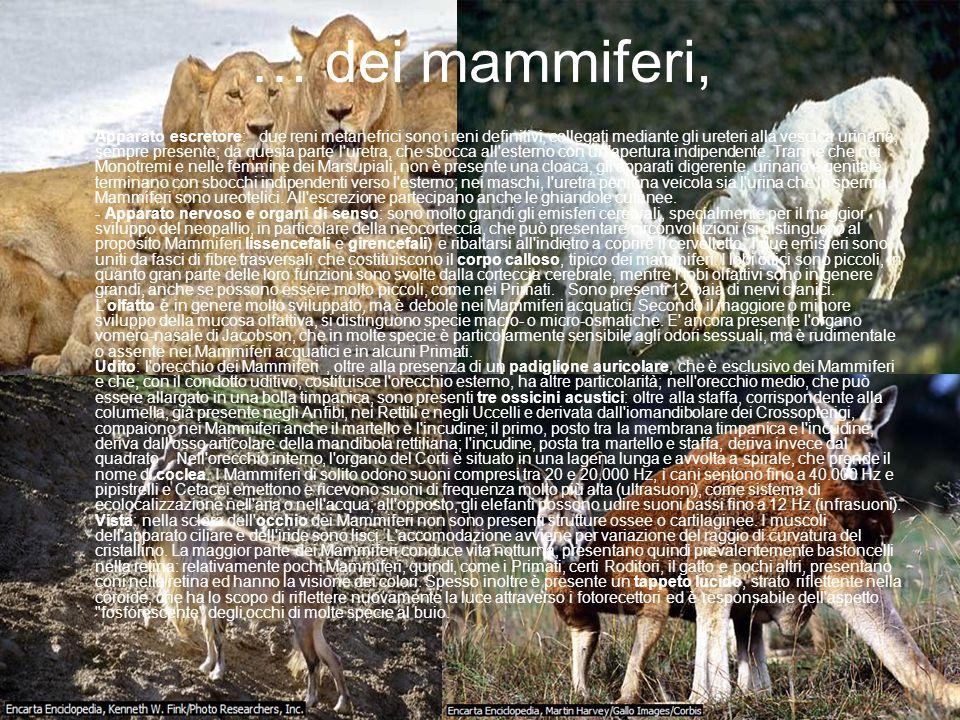 … dei mammiferi, Apparato escretore: due reni metanefrici sono i reni definitivi, collegati mediante gli ureteri alla vescica urinaria, sempre present