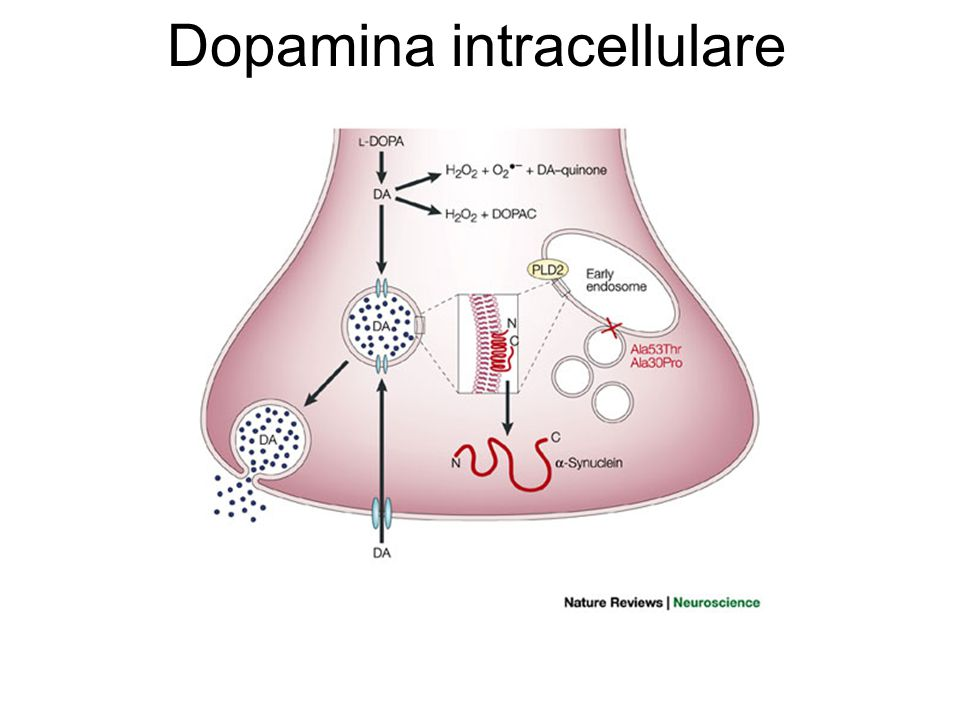 Dopamina intracellulare