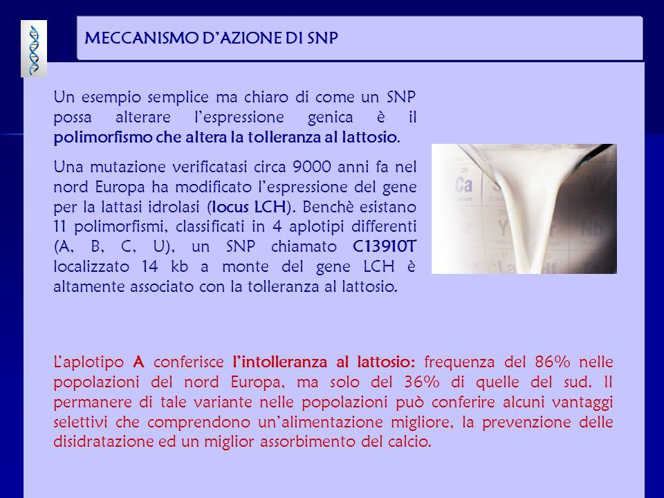 MECCANISMO D'AZIONE DI SNP Un esempio semplice ma chiaro di come un SNP possa alterare l'espressione genica è il polimorfismo che altera la tolleranza al lattosio.