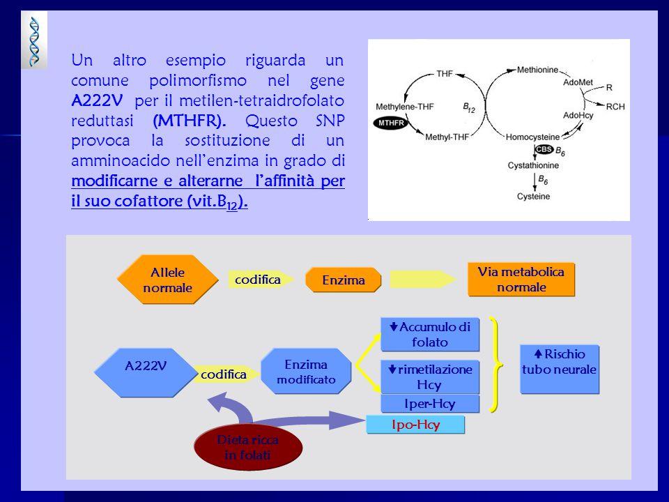 Un altro esempio riguarda un comune polimorfismo nel gene A222V per il metilen-tetraidrofolato reduttasi (MTHFR). Questo SNP provoca la sostituzione d