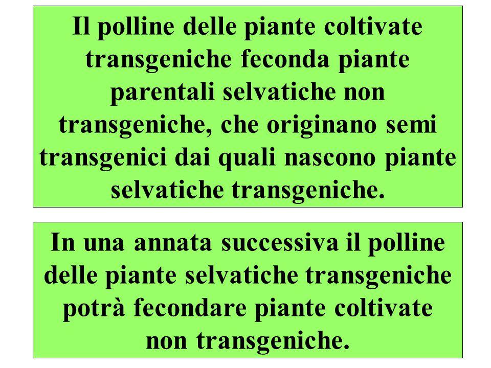 Il polline delle piante coltivate transgeniche feconda piante parentali selvatiche non transgeniche, che originano semi transgenici dai quali nascono piante selvatiche transgeniche.