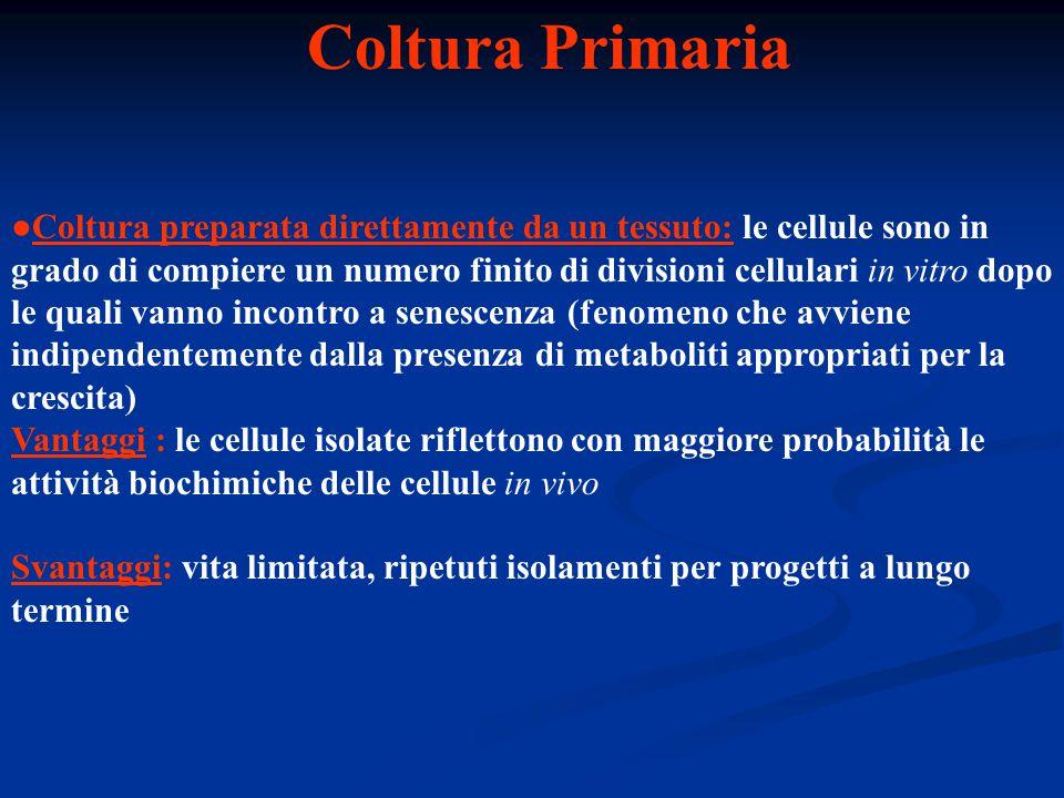 Coltura Primaria ●Coltura preparata direttamente da un tessuto: le cellule sono in grado di compiere un numero finito di divisioni cellulari in vitro