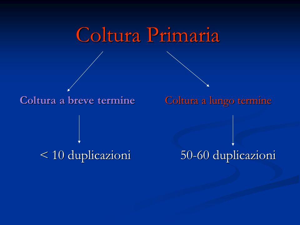 Coltura Primaria Coltura a breve termine Coltura a lungo termine Coltura a breve termine Coltura a lungo termine < 10 duplicazioni 50-60 duplicazioni