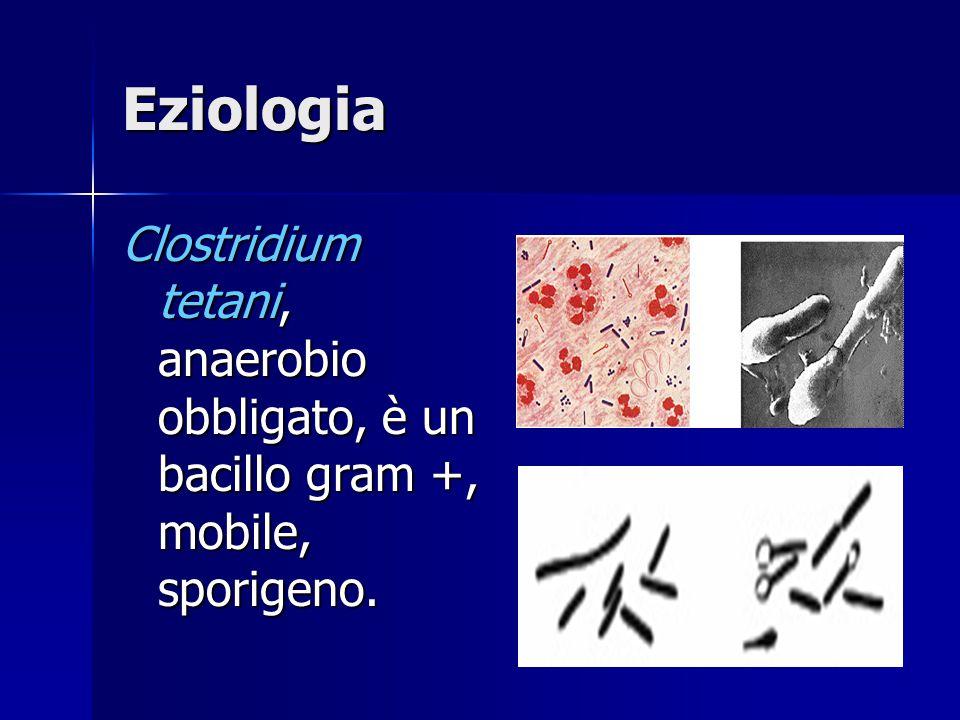 Eziologia Clostridium tetani, anaerobio obbligato, è un bacillo gram +, mobile, sporigeno.