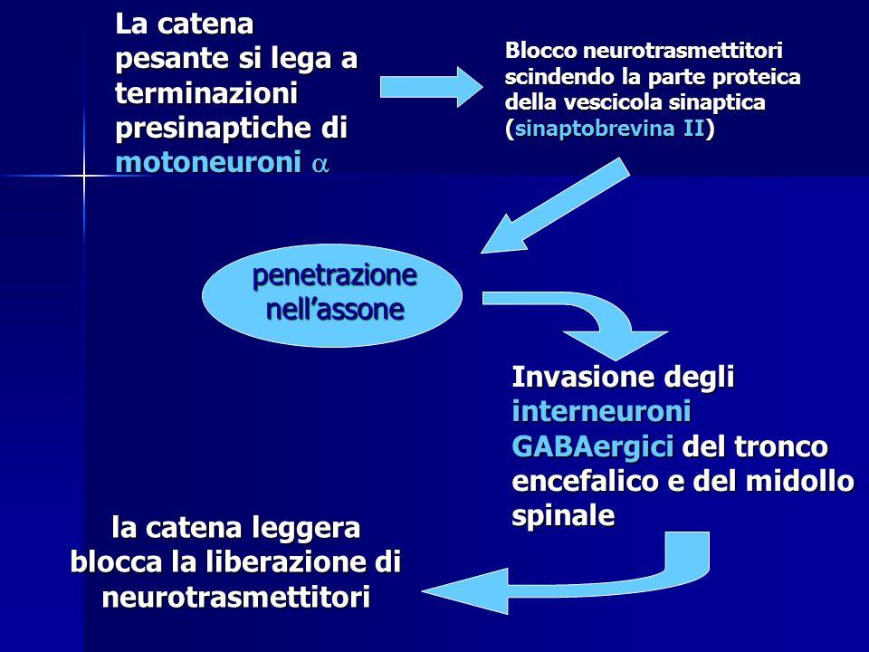 catena pesante si lega a terminazioni presinaptiche di motoneuroni  La catena pesante si lega a terminazioni presinaptiche di motoneuroni  locco neu