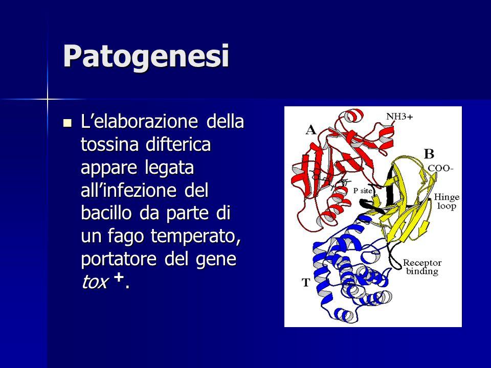 Patogenesi L'elaborazione della tossina difterica appare legata all'infezione del bacillo da parte di un fago temperato, portatore del gene tox +. L'e