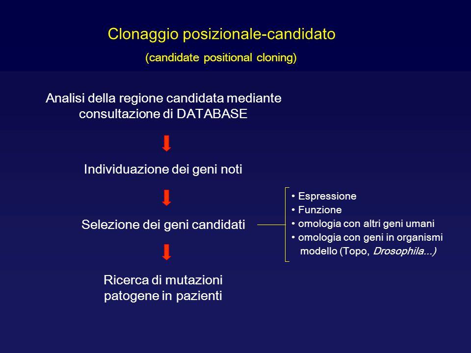 Clonaggio posizionale-candidato (candidate positional cloning) Espressione Funzione omologia con altri geni umani omologia con geni in organismi model