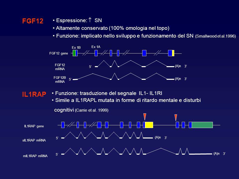 FGF12 Espressione:  SN Altamente conservato (100% omologia nel topo) Funzione: implicato nello sviluppo e funzionamento del SN (Smallwood et al.1996)