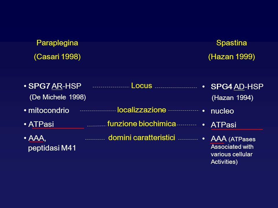 Paraplegina (Casari 1998) Spastina (Hazan 1999) SPG7 AR-HSP (De Michele 1998) mitocondrio ATPasi AAA, peptidasi M41 SPG4 AD-HSP (Hazan 1994) nucleo AT