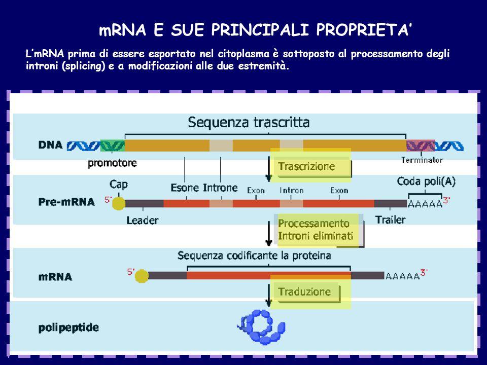 mRNA E SUE PRINCIPALI PROPRIETA' L'mRNA prima di essere esportato nel citoplasma è sottoposto al processamento degli introni (splicing) e a modificazioni alle due estremità.