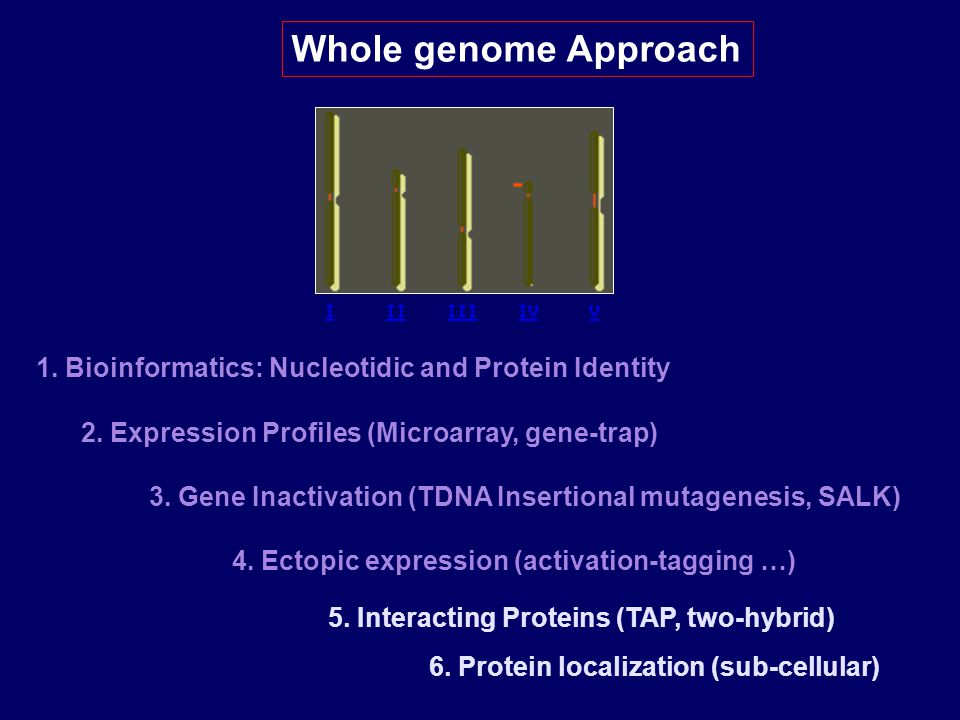 Whole genome Approach 1. Bioinformatics: Nucleotidic and Protein Identity 2. Expression Profiles (Microarray, gene-trap) 3. Gene Inactivation (TDNA In