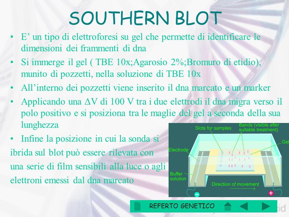 SOUTHERN BLOT E' un tipo di elettroforesi su gel che permette di identificare le dimensioni dei frammenti di dna Si immerge il gel ( TBE 10x;Agarosio