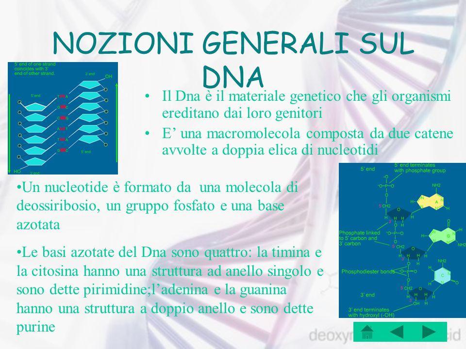 NOZIONI GENERALI SUL DNA Il Dna è il materiale genetico che gli organismi ereditano dai loro genitori E' una macromolecola composta da due catene avvo