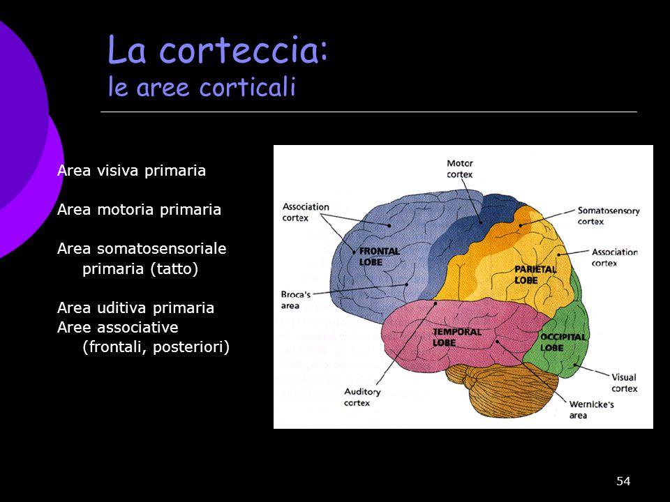 54 La corteccia: le aree corticali Area visiva primaria Area motoria primaria Area somatosensoriale primaria (tatto) Area uditiva primaria Aree associ