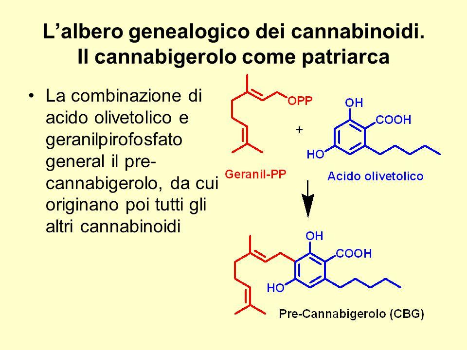 L'albero genealogico dei cannabinoidi. Il cannabigerolo come patriarca La combinazione di acido olivetolico e geranilpirofosfato general il pre- canna