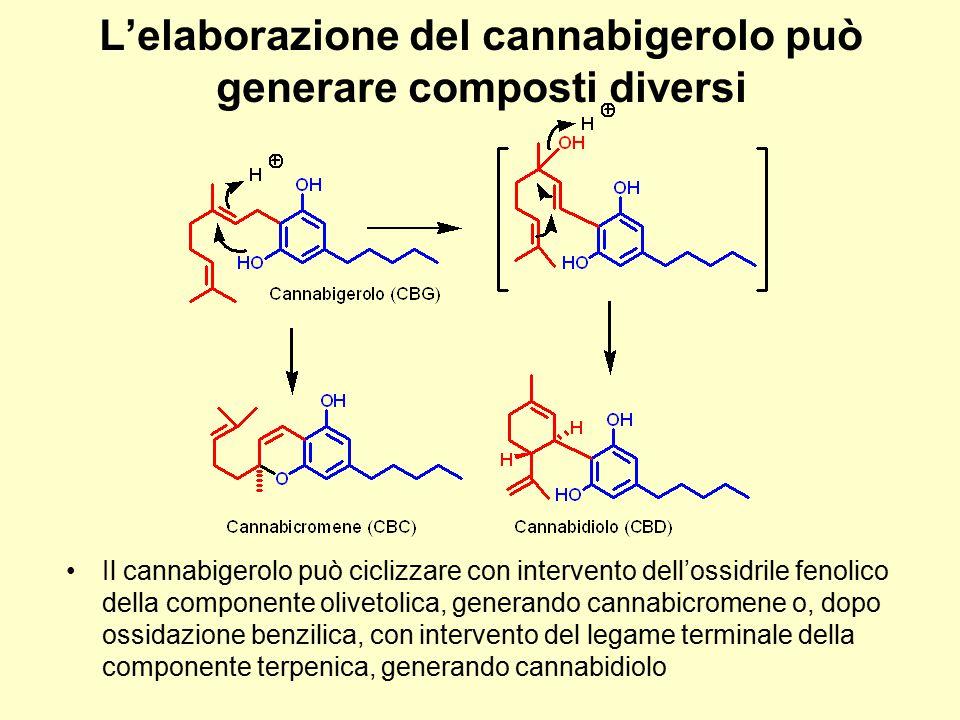 L'elaborazione del cannabigerolo può generare composti diversi Il cannabigerolo può ciclizzare con intervento dell'ossidrile fenolico della componente