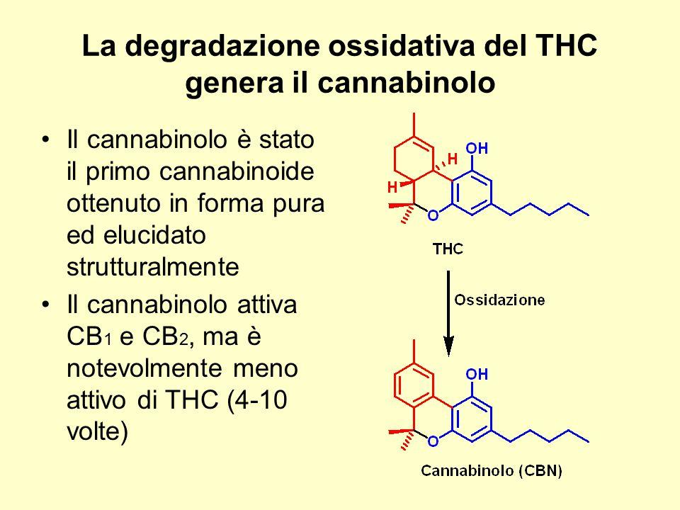 La degradazione ossidativa del THC genera il cannabinolo Il cannabinolo è stato il primo cannabinoide ottenuto in forma pura ed elucidato strutturalme