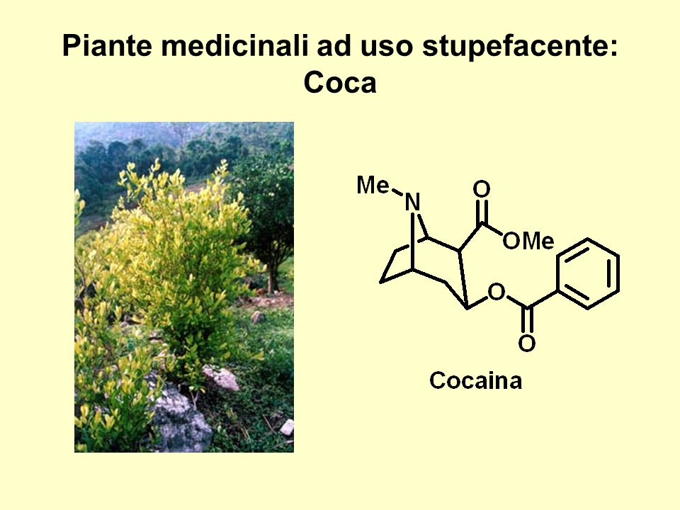 Piante medicinali ad uso stupefacente: Coca