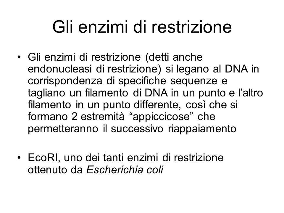 Gli enzimi di restrizione Gli enzimi di restrizione (detti anche endonucleasi di restrizione) si legano al DNA in corrispondenza di specifiche sequenz